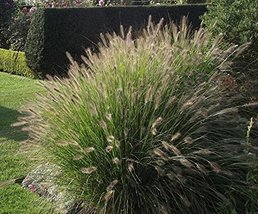 4 Bare Root of Pennisetum Alopecuroides Cassian - $118.80