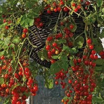 25 Smallest Currant Tomato Seeds-1136A - $2.98