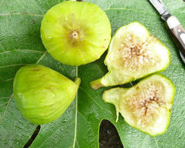 "Edible Fig - Lattarula Honey - Starters - 6 Live Plants - 2"" Pot Size - $68.99"