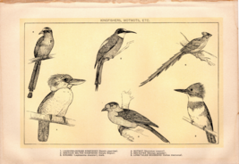 "Rare 1902 Antique Print Bee-eater Kingfishers Motmot Kirumbo 10X6"" Dodd ... - $27.47"