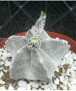 Astrophytum myriostigma 'Bishop Hat' Cactus Group 3 - $17.50