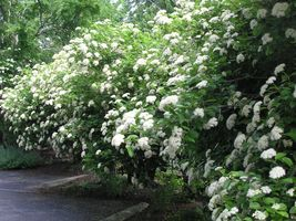 Chicago Lustre viburnum shrub image 4