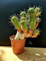 Cactus - very old plant - $42.24