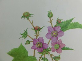VTG Flowering Raspberry  (Rubus Adoratus)  9x12 Frameable Print Nature F... - $11.75