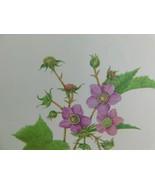 VTG Flowering Raspberry  (Rubus Adoratus)  9x12 Frameable Print Nature F... - $11.75