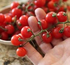 20 Seeds of Small Red Cherry Tomato - Solanum lycopersicum VAR. cerasiforme - $11.74