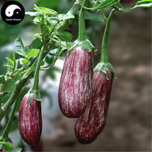 Buy Color Eggplant Vegetable Seeds 60pcs Plant Vegetables Solanum Melongena - $5.99