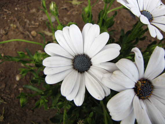 120 Seeds Osteospermum African Daisy Sky Ice O Ecklonis White Purple Eye Flower  image 3
