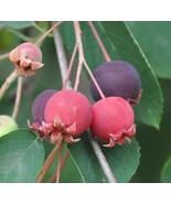 LIVE PLANT Downy Serviceberry Tree NORTH and SOUTH Hardy fruit shrub ber... - $48.00