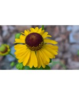 Organic Native Plant, Purple-headed Sneezeweed, Helenium flexuosum - $3.50
