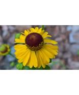 Organic Native Plant, Purple-headed Sneezeweed, Helenium flexuosum - $3.75