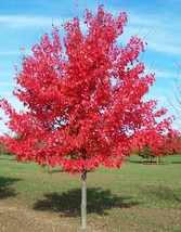 October Glory Red Maple - 2 Gallon Potted - $103.49