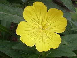 Non GMO Evening Primrose Flower Seeds Oenothera lamarckiana (25 Lbs) - $505.79