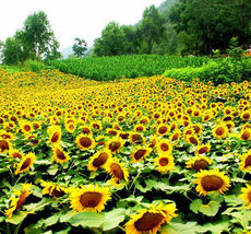 15 Oil Sunflower Seeds Helianthus Annuus Turnsole Garden Flowers - $5.09