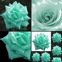 200 Mint Green Rose Seeds Butterflies Love Garden Flower Rare Plant Seed... - $9.60