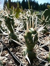 1 Starter Plant of Tephrocactus Articulatus [White Spined Clone] - $59.40