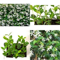 Jasmine Confederate Flowers Indoor Garden Plant 6 Pack 3''Pot Blooms Spr... - ₹2,136.99 INR