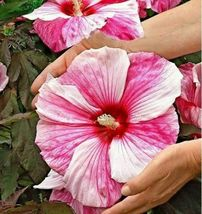 50 PCS Giant Hibiscus Flower Seeds Hardy Rare Home Flower For DIY Garden Potted - $9.86