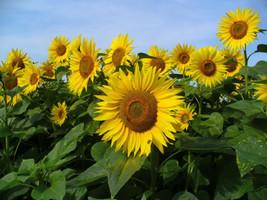 Sunflower , (200 seeds) YELLOW Flower, Helianthus annuus,(Heieloon Organ... - $2.93