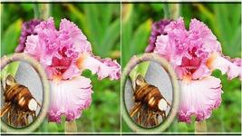 5 Iris Bulb - Tall Bearded German Social Graces Live Plant large Bulb - $111.99
