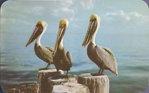 Primary image for Pelicans in Tropical Florida Postcard