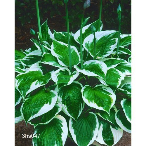 5 Bulbs of Hosta 'Minuteman'