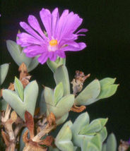 Braunsia Apiculata rare mesembryanthemum exotic succulent mesembs seed 15 SEEDS - $18.00