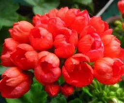 20pcs Very Admirable Geranium Fire Red Apple Blossom Bonsai Flowers Seeds IMA1 - $16.93