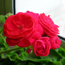 Red Viva Rosita Zonal Geranium Flower Seeds 10PCS Home and Garden - $14.36