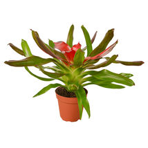 "1 Live Plant - Bromeliad Medusa 4"" Pot #HPS13 - $37.99"