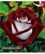 100 Seeds Promotion!Fire And Ice Rose Garden Seeds Plants Potted Rose Rare  - $3.99