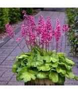 Coral Bells - Heuchera 'Timless Glow' - Perennial Plant - Gardening - Fl... - $53.46