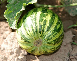 20pcs Very Yummy Edible Fruits, New Green Muskmelon Sweet Melon IMA1 - $14.94