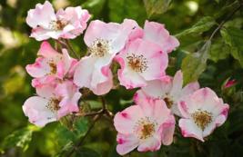 50 Pcs Seeds Rosa Canina Victory Pink Dog Brier Rose Bush Flower - DL - $16.00