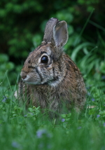 Rabbit 13 x 19 Unmatted Photograph - $35.00