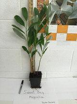 SWEETBAY MAGNOLIA qt. pot  Laurel Magnolia, Swamp Magnolia - (Magnolia virginian image 2