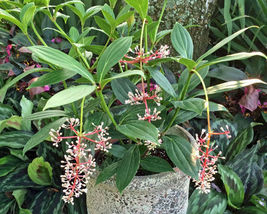 "Medinilla - Cummingii - Chandelier Tree - Live Plant - 4"" Pot - 1 Plant - $55.99"