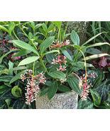"Medinilla - Cummingii - Chandelier Tree - Live Plant - 4"" Pot - 1 Plant - $55.99"