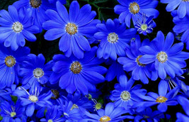 Blue Daisy Seeds, Felicia The Blues, Non-Gmo Flower Seeds, Annual Flower, 50ct - $14.39