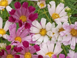 SHIP FROM US 128,000 Cosmos Sea Shells Mix Seeds, ZG09 - $195.56