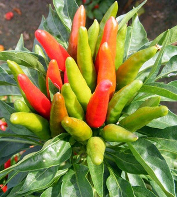 min 1000 Samen Chili Serrano Capsicum annuum hot chili seeds pepper