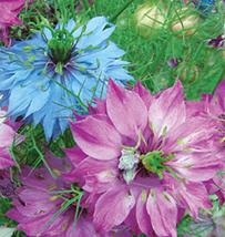 30pcs Very Graceful Nigella Damascene Persian Flower Seeds IMA1 - $13.99