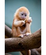 Little Cute Monkey Portrait Wild Animal Nature ... - $21.90