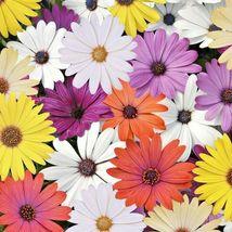 "African Daisy ""Cineraria Mix"" Flower 200 Seeds #CRB03 - $14.17"