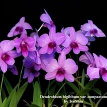 Dendrobium bigibbum var. compactum 3 1/4'' Pot T630 - $36.85