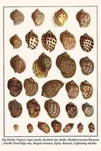 Fig Shells, Papery rapa snails, Sootted tun shells, Mediterranean Bonnets, Pacif - $19.99+