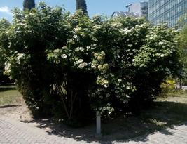 25 + European cranberry bush seeds (Viburnum opulus) Ornamental Shrub Co... - $2.99