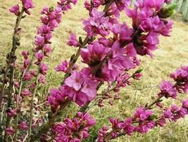 Gardening - Daphne Mezereum Garland Flower Paradise 16 Seeds - tgi - $49.95