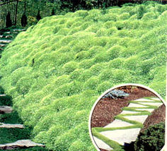 Have one to sell? Sell now Irish Moss - Heirloom Seeds, Perennial Groun... - $10.29