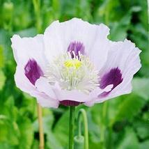 1,000 Poppy Seeds Blue Moon Beautiful Flowers Outdoor Living TkForever - $47.52